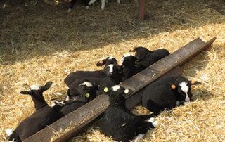 Ovce Hošek - Rodinná farma ovcí plemene Zwartbles